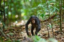 Chimpanzee Photo 3