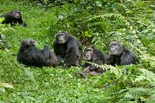 Chimpanzee Photo 11