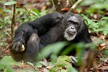 Chimpanzee Photo 13