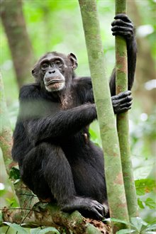 Chimpanzee Photo 27 - Large