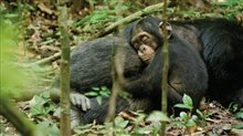 Chimpanzee Photo 19