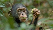 Chimpanzee Photo 21