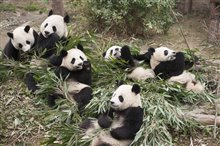 Pandas Photo 2