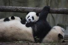 Pandas Photo 7
