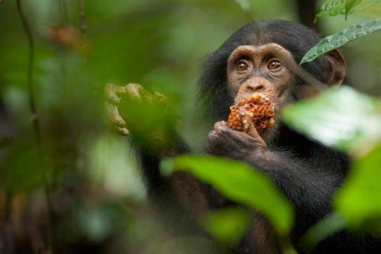 Chimpanzee Photo 1 - Large