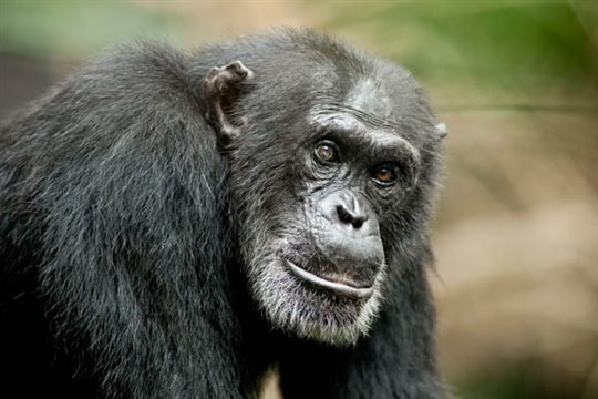 Chimpanzee Photo 15 - Large
