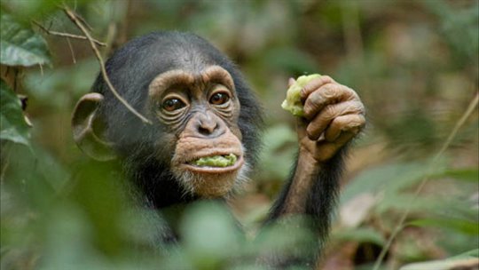 Chimpanzee Photo 21 - Large