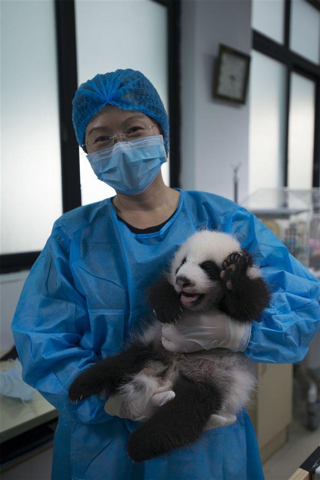 Pandas Photo 15 - Large