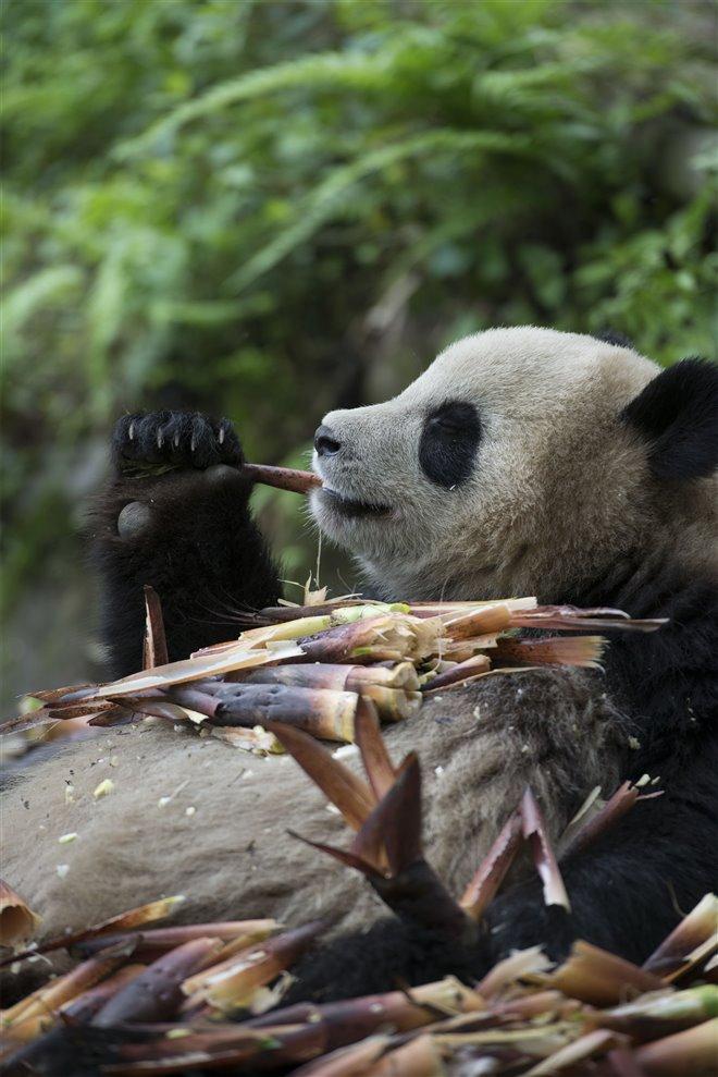 Pandas Photo 21 - Large