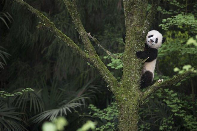 Pandas Photo 5 - Large