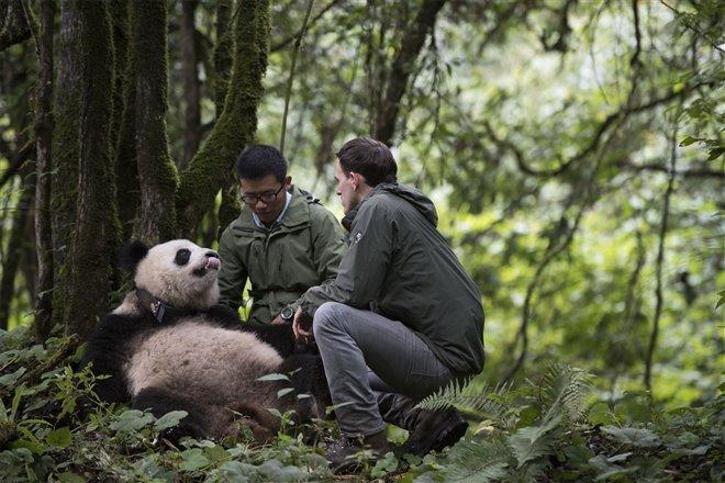 Pandas Photo 8 - Large